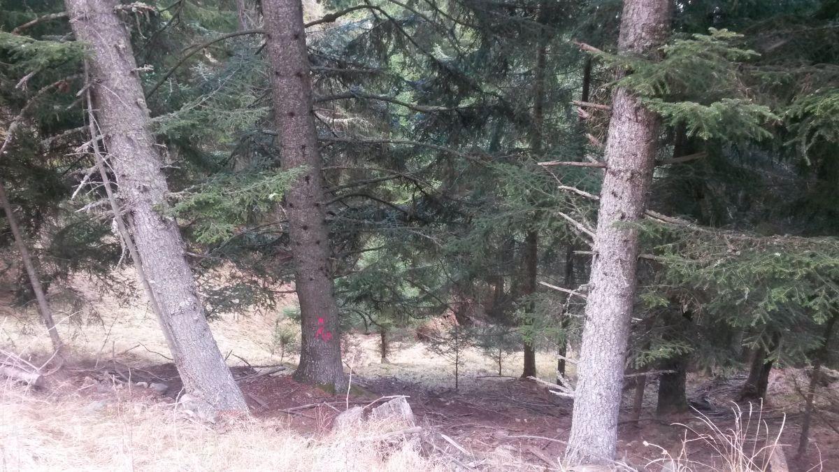 Die markierte Weißtanne ist auserwählt, der neue archeoParc-Einbaum zu werden... Der etwa 70cm dicke und gute 150 Jahre alte Baum ist am Naturnser Nörderberg gewachsen.L'abete bianco segnato si trasformerà nel monossilo dell'archeoParc…l'albero cresciuto sul monte Tramontana a Naturno misura ca 70 cm di diametro e ha 150 anniThe signed silver fir has been choosen to become the new archeoParc-dug out…the tree is approx. 70 cm large, 150 years old and grew at the mount Tramontana, Naturno
